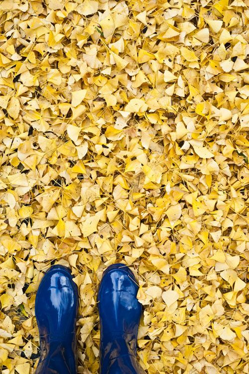 Gingko leaves and blue rainboots. Love the contrast.