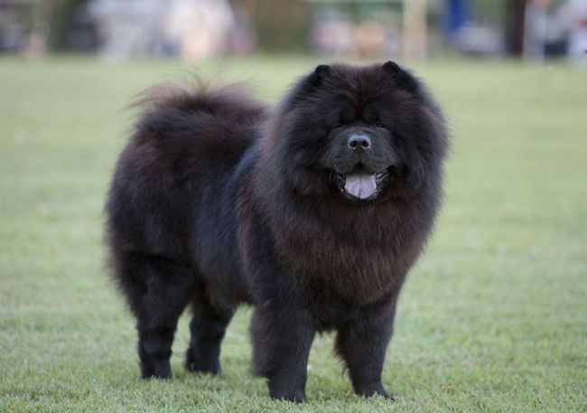 Black Chow Chow Dog | HD Walls | Find Wallpapers