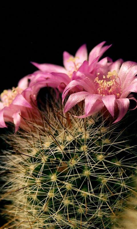 Fotografije kaktusa - Page 2 Aa7bd97d6a8a8328ae61d4314cb3743a