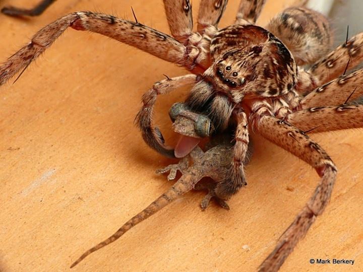 Howlong Australia  city photos gallery : Scary Australian spider eating a gecko | Everything Australian ...