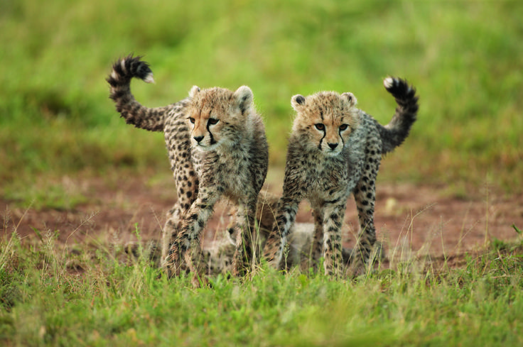 Cheetah cubs are born with a downy fur on their necks. This gives them the appearance of having a 'Mohawk'.  Photographer: Horst Klemm