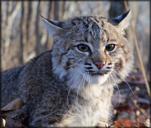 Tennessee Bobcat Tennessee Home Sweet Home Pinterest