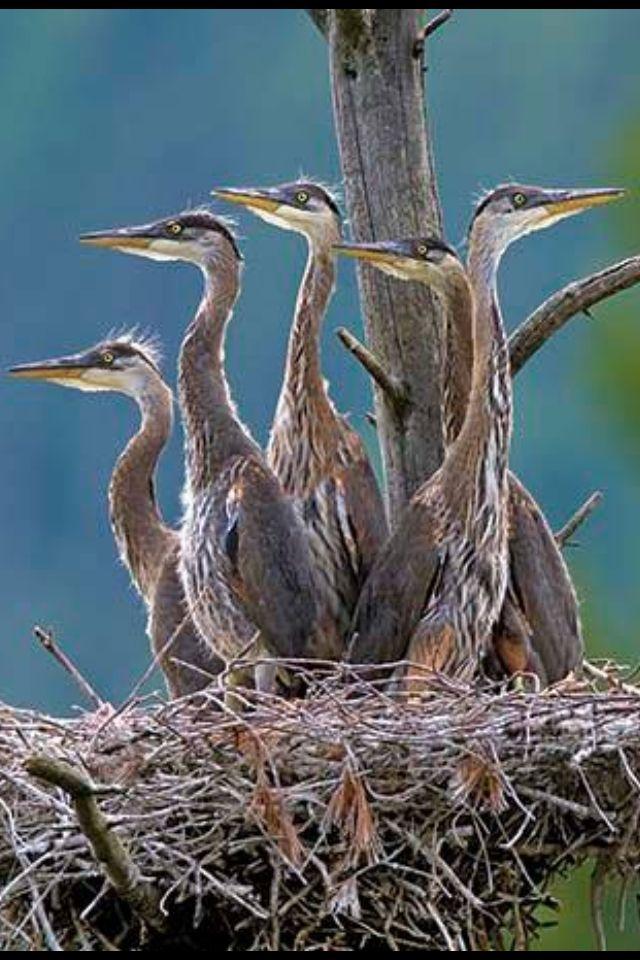 Baby blue heron bird - photo#21