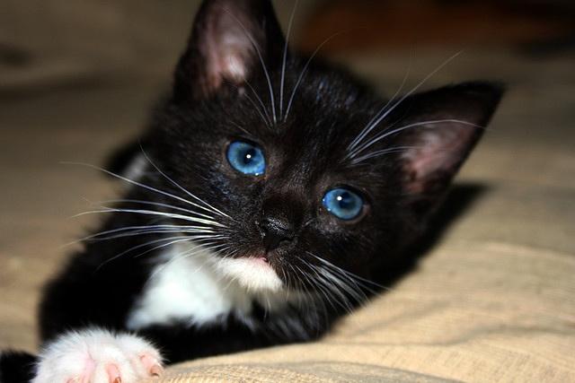 Tuxedo Cat Blue Eyes
