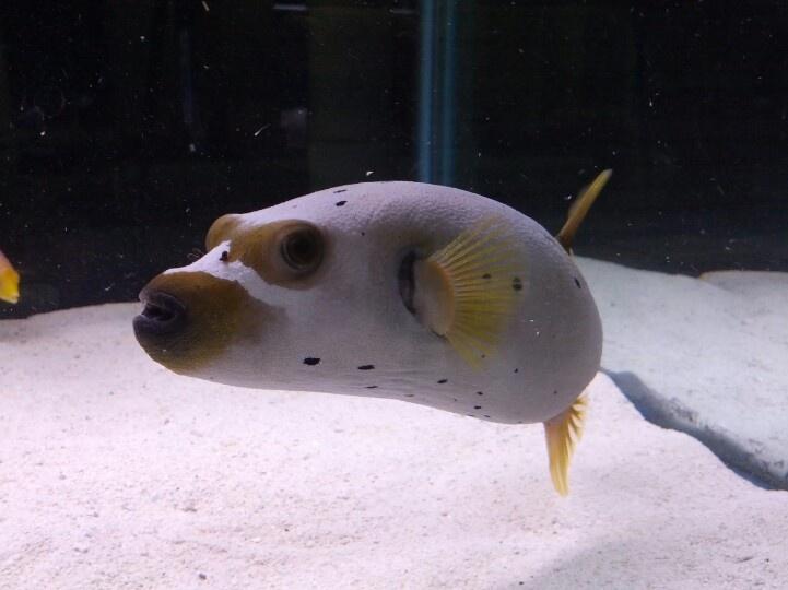 Dog face puffer aquarium ideas pinterest for Dog face puffer fish