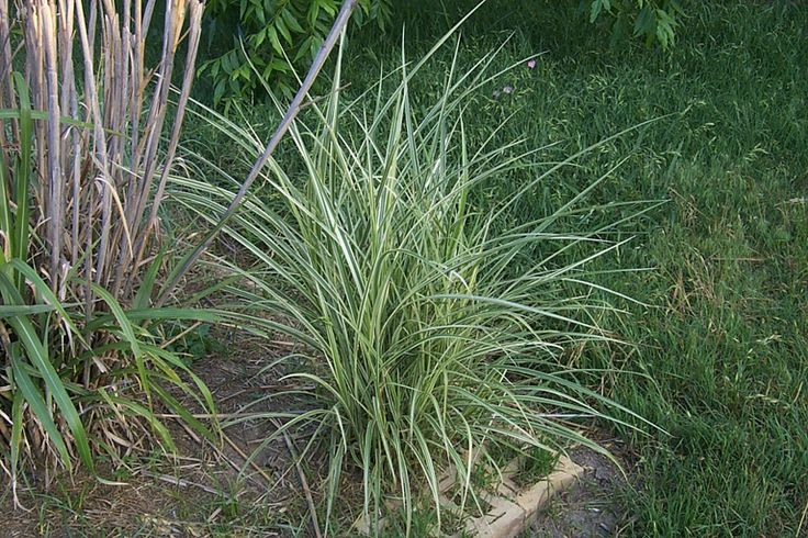 Japanese silver grass full sun garden ideas pinterest for Variegated grass plant