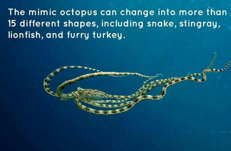 Mimic octopus turkey