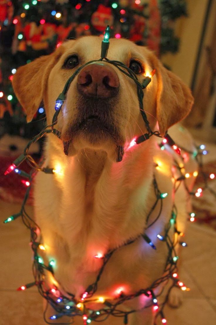 dog with lights | Christmas - never too early | Pinterest
