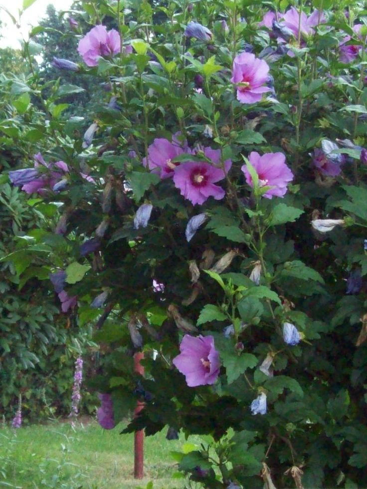 rose of sharon are - photo #40