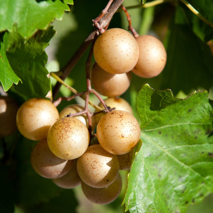how to eat muscadine grapes