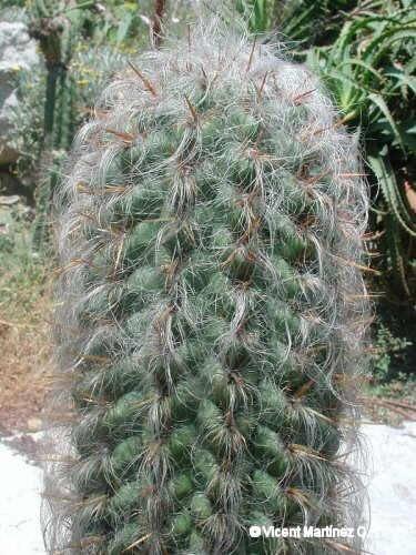 Oreocereus celsianus (Viejo hombre de los Andes)