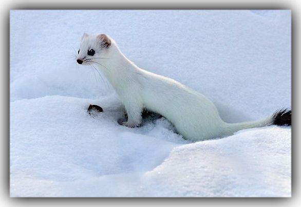 SHORT TAILED WEASEL (M...