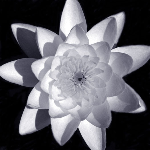Waterlily SG/BW Photograph, Liz Zorn Series: Flowers 2000