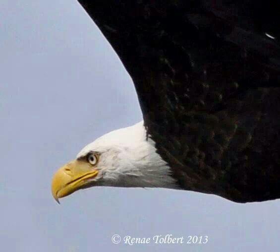 Bald eagle birds of prey eagles pinterest