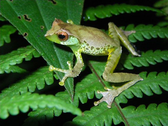 Quang's tree frog