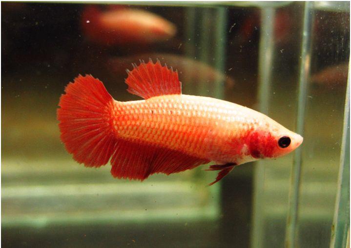 Hmpk orange female betta fish pinterest for Female betta fish pictures