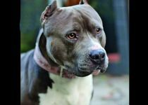 Blade: A rescued pit bull at Villalobos Rescue in CA Such a beautiful ...