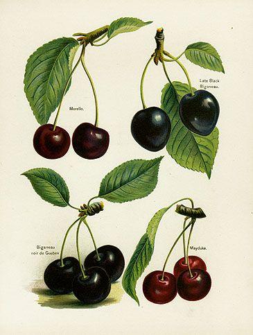 Mayduke  Cherry