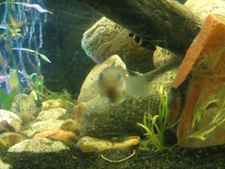 King Arthur the knight goby photo bombs the bumble bee goby pic. # ...