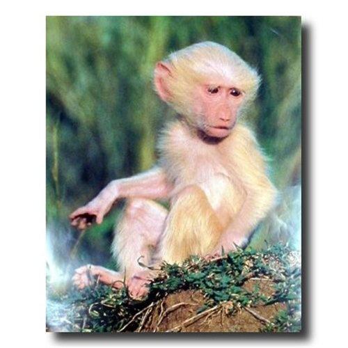 Baby Albino Monkey Baby albino baboon tree monkey