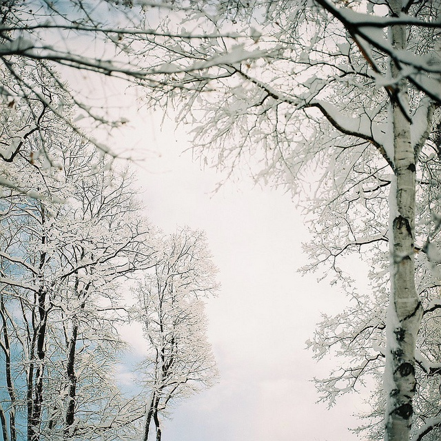 Birch trees in winter.   Nature   Pinterest Pictures Trees In Winter Pinterest