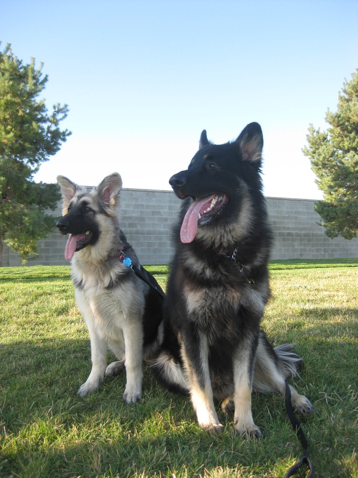 Shiloh Shepherds Shiloh Shepherds Pinterest