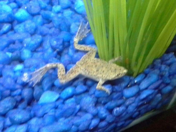African dwarf frog I ? aquatic frogs Pinterest
