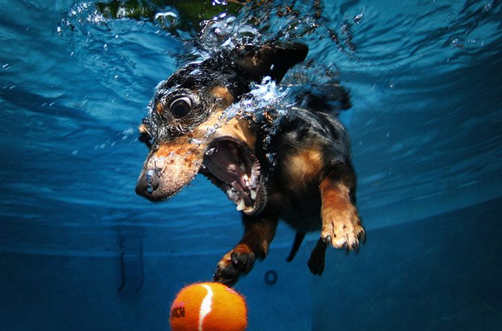 Sausage dog in water with ball