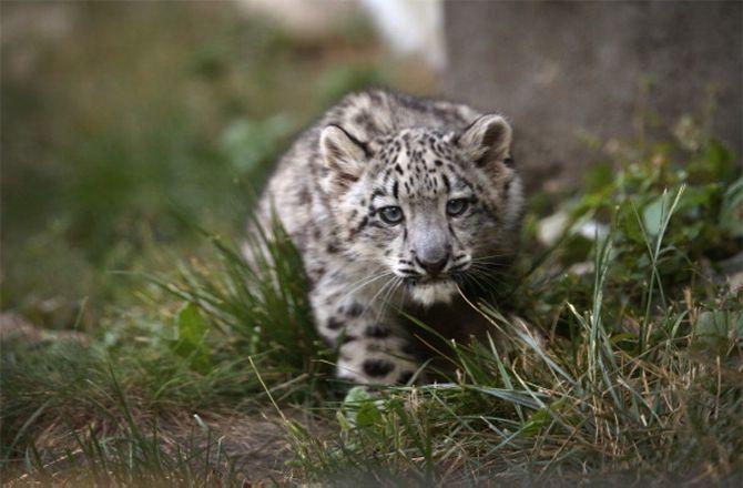 Snow leopard cub cool cats pinterest