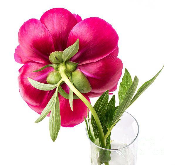 Beautiful peony flowersRed Peony Flower