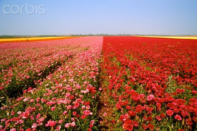Love it carnation fields in israel 42 25076923 rights managed