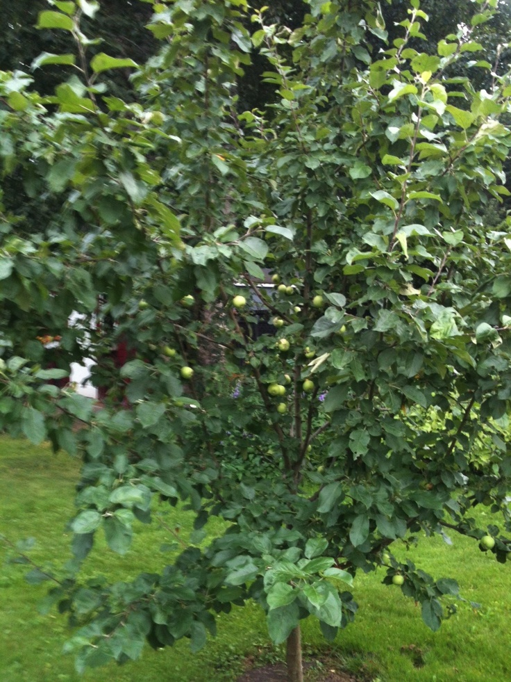 granny smith tree