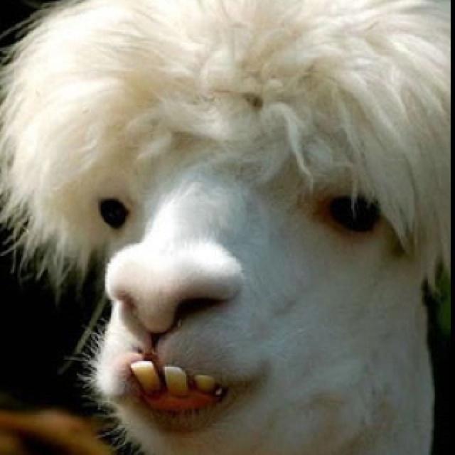 Llamas With Afros Why llamas don't wear ...