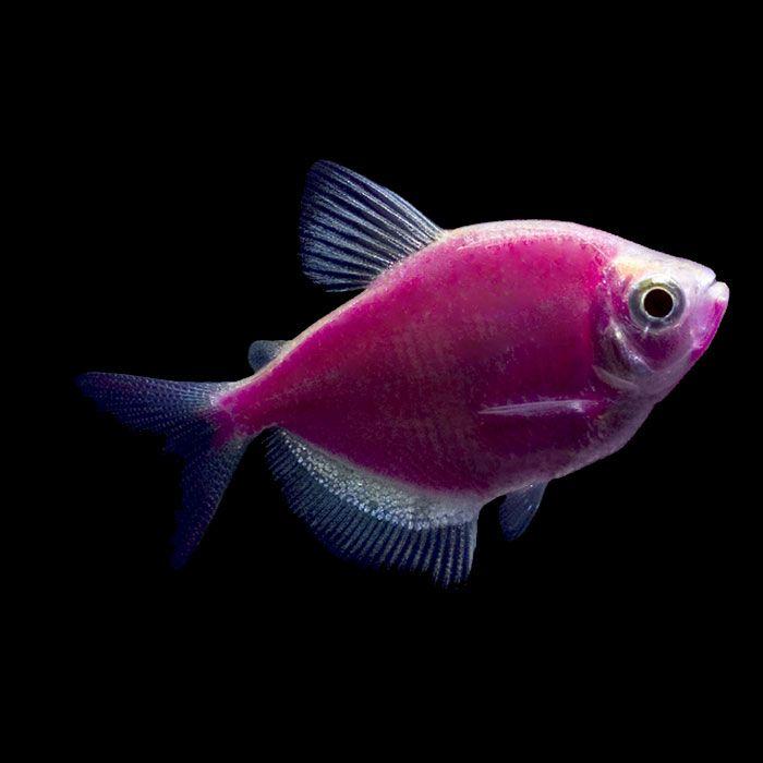 Galactic purple glofish tetra gymnocorymbus ternetzi for Purple freshwater fish