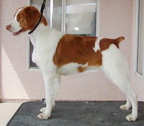 Brittany Grooming | dog | Pinterest