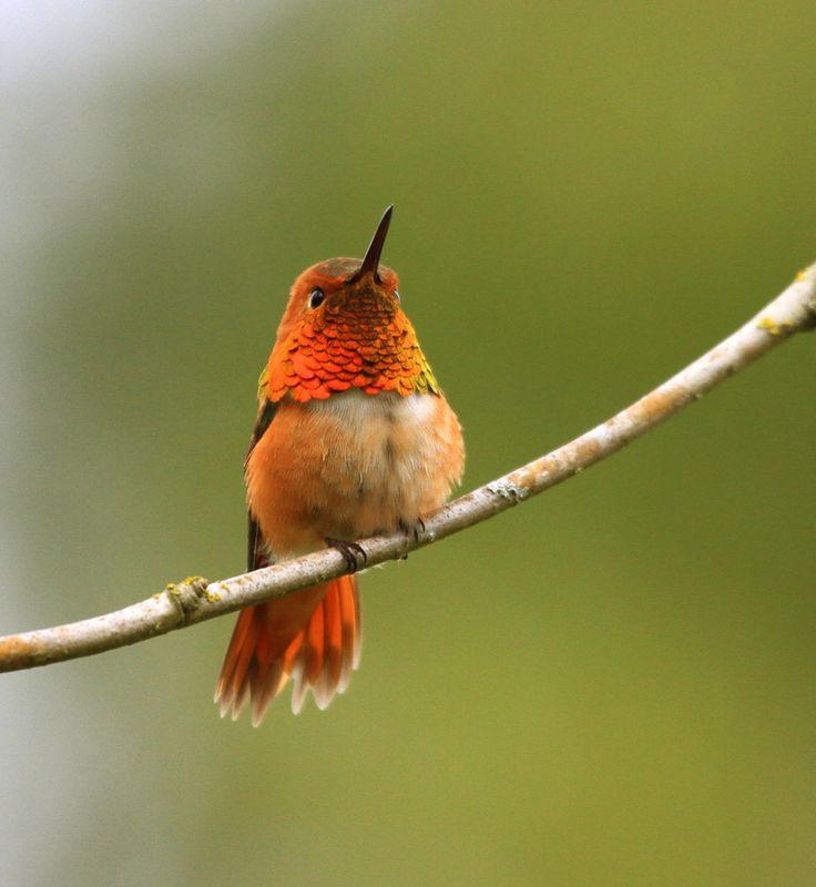 Little Jewel II Hummingbird
