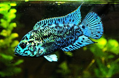 Electric Blue Jack Dempsey | RANDOM BEAUTIFUL THINGS ...