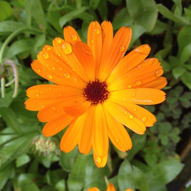 French Marigold Calendula Officianalis Companion Plant 400 x 300