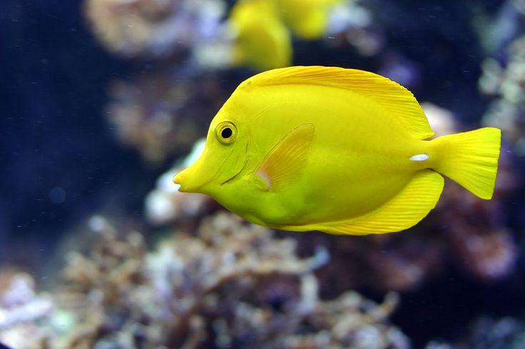 Salt water fish yellow tang salt water fish pinterest for Brackish water fish