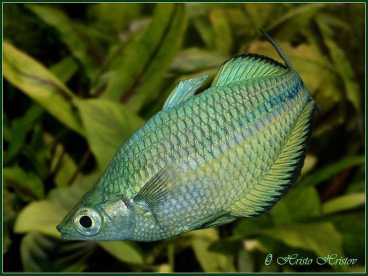 Rainbowfish | Rainbowfish | Pinterest