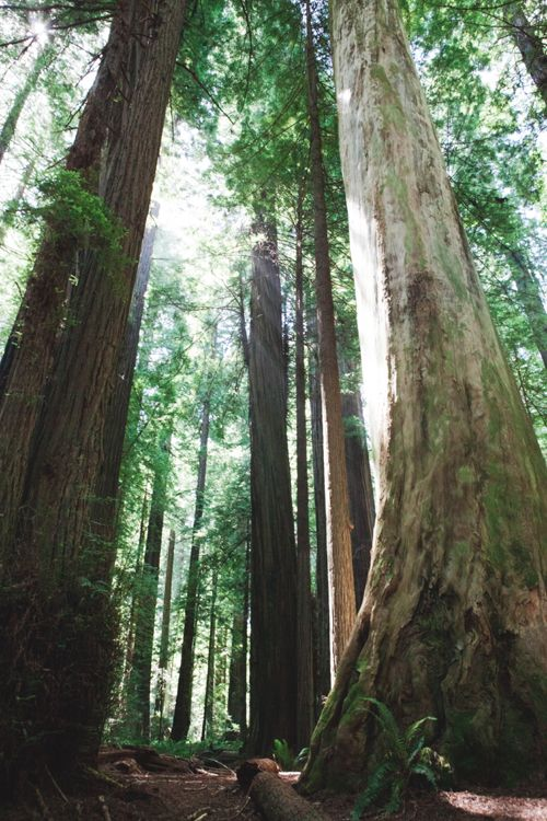 redwoods. photo by inthelittleredhouse.blogspot.com