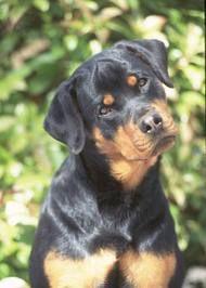Rottis (: CUTEST DOG. EVER!
