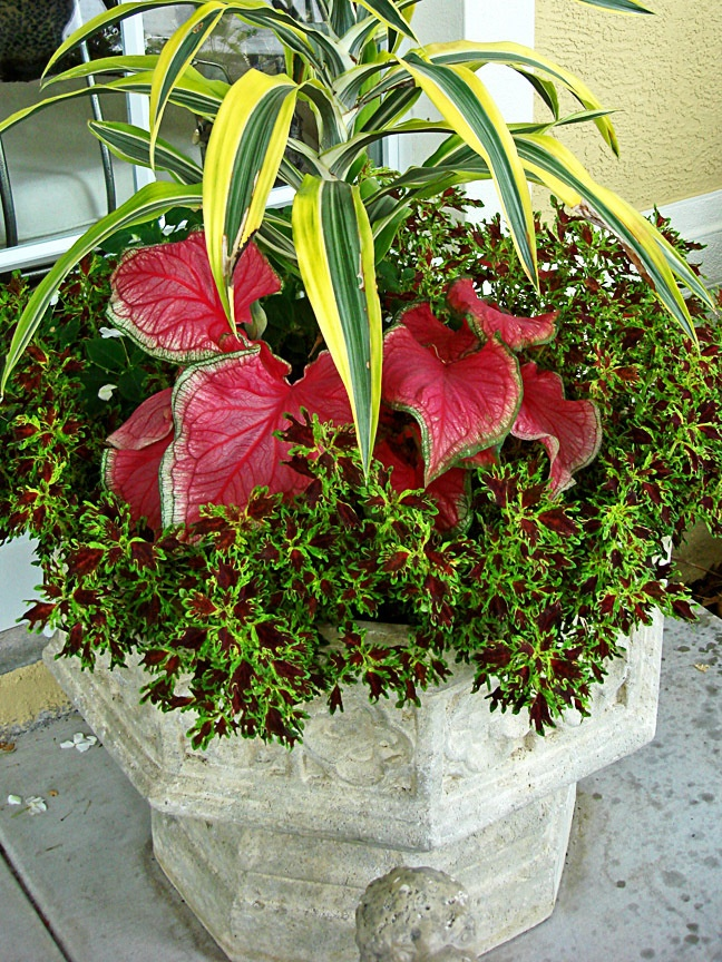 Kiwi cordyline caladiums and coleus florida container gardening an - Container gardening in florida ...