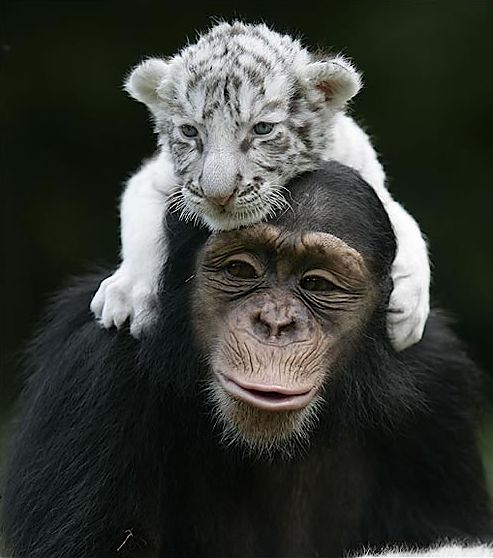 #tiger #chimpanzee