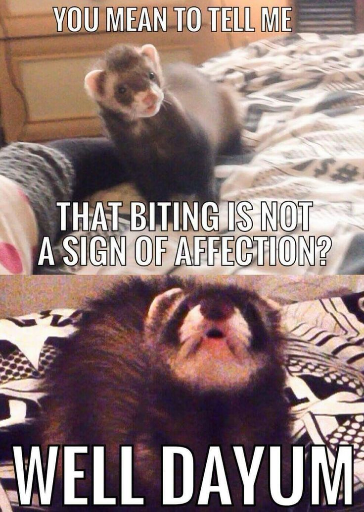 How to Reduce Ferret Odor How to Reduce Ferret Odor new pictures