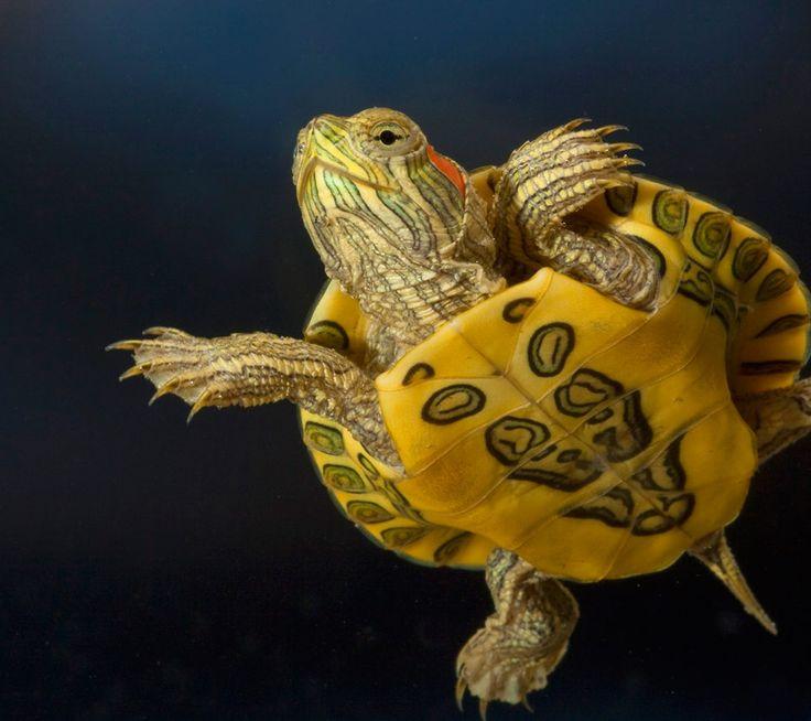 ... -Eared Slider, I miss mine!! :( Turtles and Tortoises Pintere