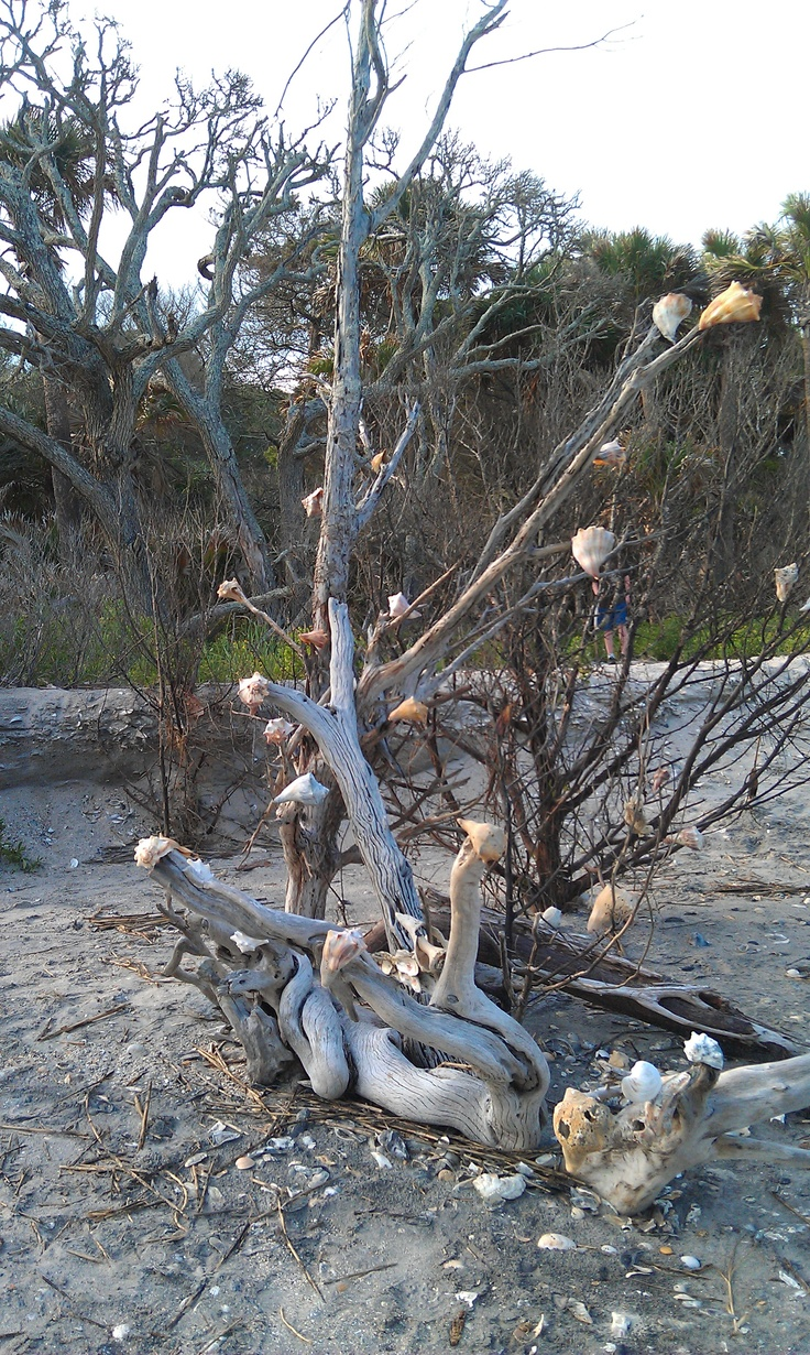 Botany Bay, near Edisto, SC  Pristine beach, lots of shells, trees growing out into the surf.  Currently a SC Nature Preserve: Open to the public daily except Tuesdays and special hunt days