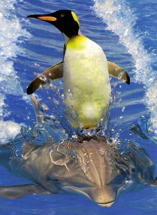 Penguin Surfin on a Dolphin