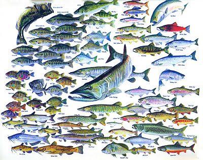 Freshwater fish chart my boat salt life style pinterest for Freshwater fish chart