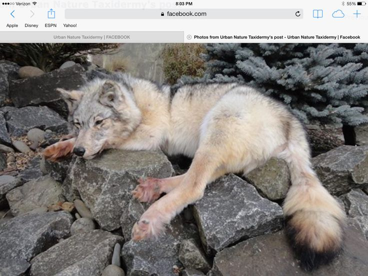 Denali National Park as well Arctic wolf camouflaged in snow in addition Wolfs Sense Smell 4565769 together with Lofsdalen Een Met De Natuur additionally Fall Colors At Its Best Tombstone Yukon. on tundra wolves